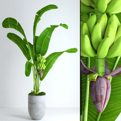 Banana tree with moss 3D model