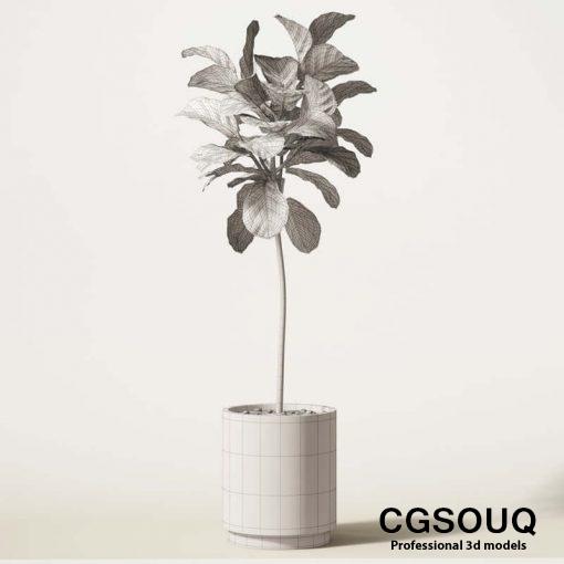 Ficus Lyrata 04