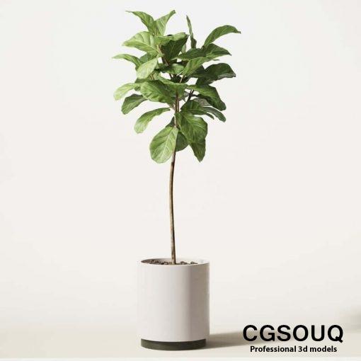Ficus Lyrata 05