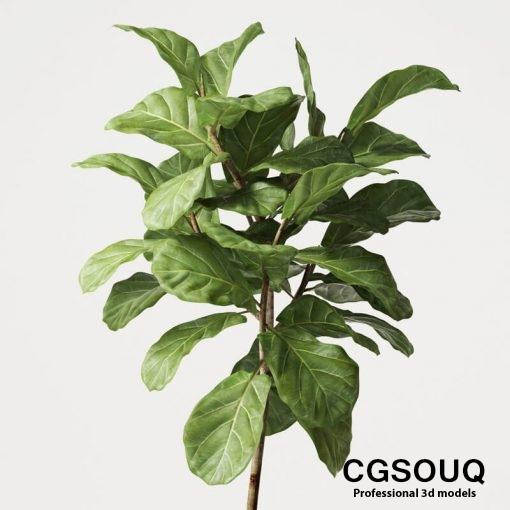 Ficus Lyrata 06