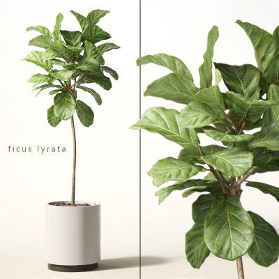 Ficus Lyrata Plant 3D model