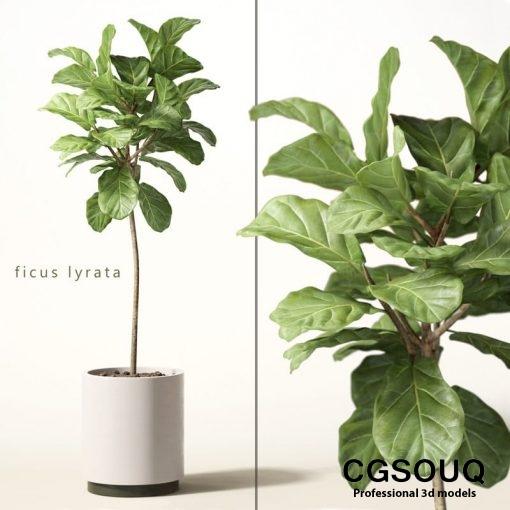 Ficus Lyrata Plant 3D model 01