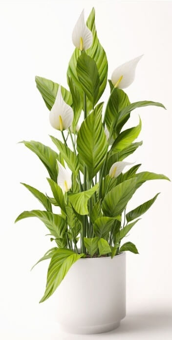 Spathiphyllum Preview 1
