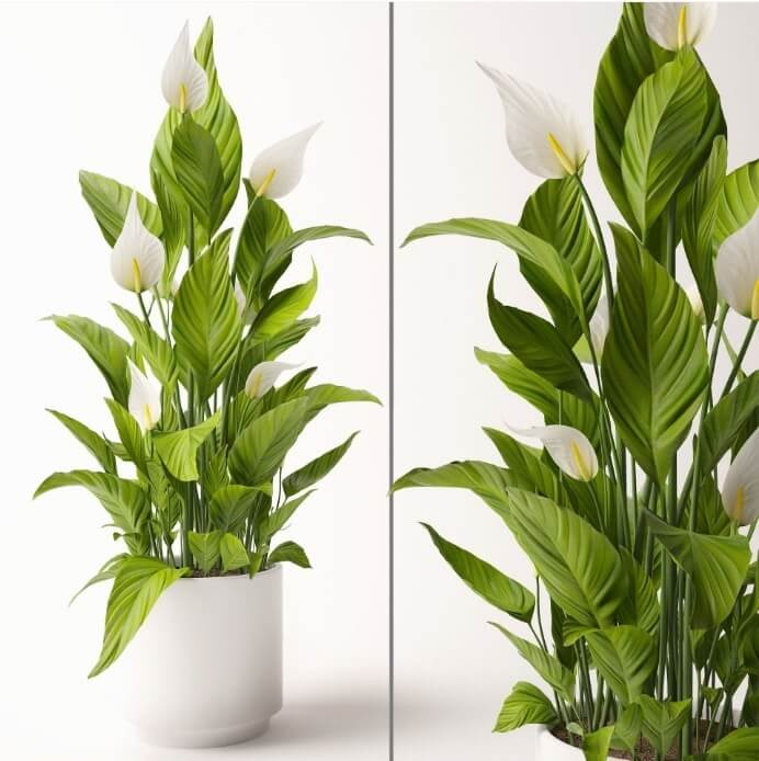 Spathiphyllum Preview 2